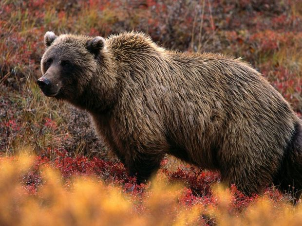 grizzly-bear_566_990x742